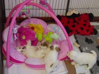 Coton puppies on play mat