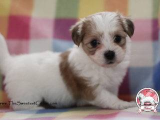 coton de tulear puppy