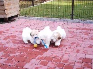 Coton de Tulear puppies - Mohito, Malag, Malibu and Margarita in the backyard