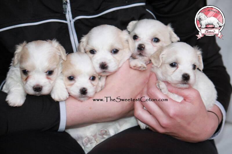 Coton de Tulear puppies - Lennon John &  Electra