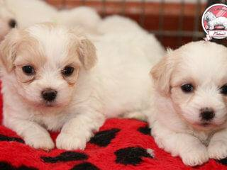 Sandra and Coton de Tulear puppies