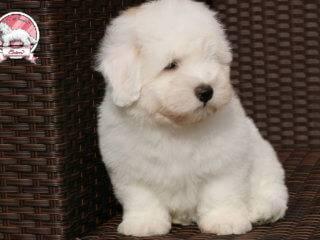 Coton de Tulear puppy boy