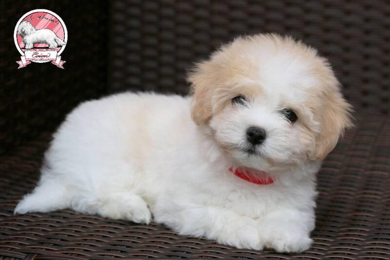 nebeoka nyala nara tsc three coton de tulear puppies girls for sale
