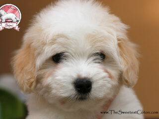 Coton de Tulear puppies girls for sale