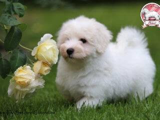 Obeliks Coton de Tulear puppy