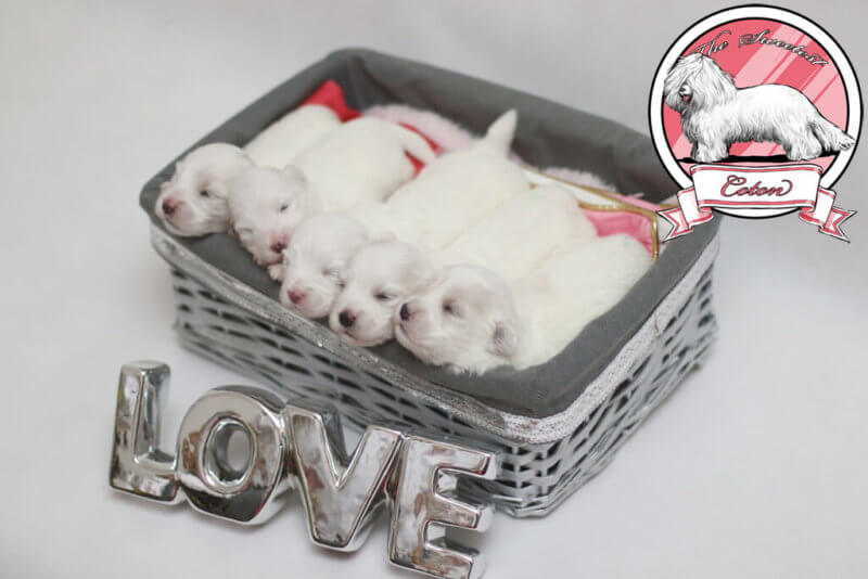Coton de Tulear puppies after LJ & Bellezza