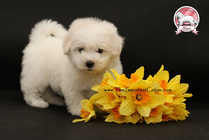 Coton de Tulear puppies for sale new photos