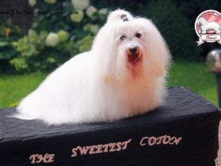Deluxe The Sweetest Coton