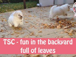 coton puppies in backyard