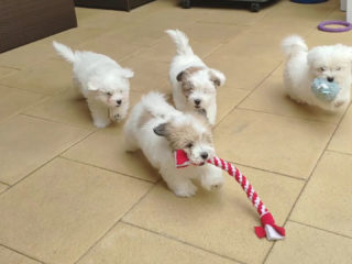 The Sweetest Coton de Tulear puppies play on a terrace