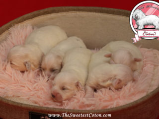 Puppies The Sweetest Coton