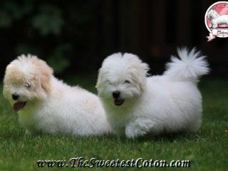 LJ - Milky - Coton de Tulear Puppies