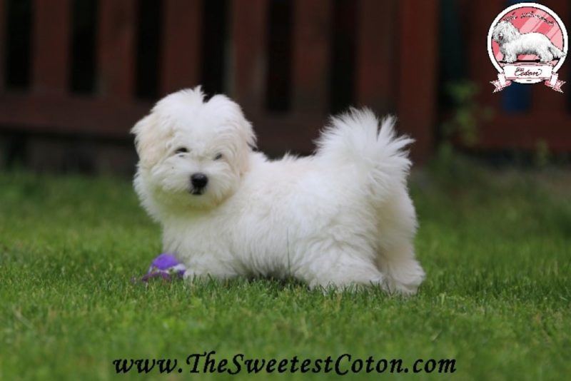Peme The Sweetest Coton
